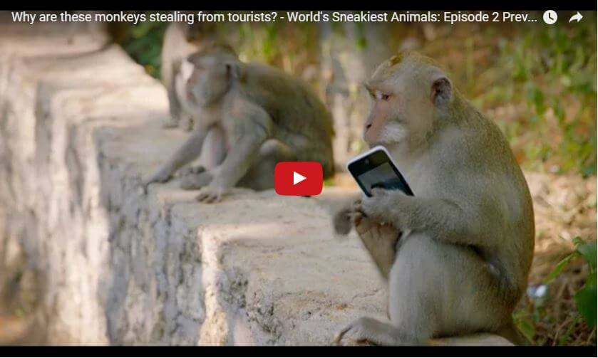 Bali monkey thieves – why are they stealing from tourists?